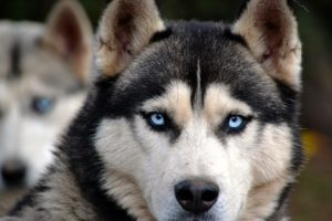 dog with blue eyes