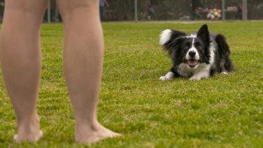 border collie being trained to stay